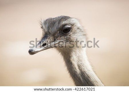 Portrait of a common ostrich, Struthio camelus. Ostrichs are native to Africa and they are the largest flightless bird