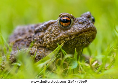 Portrait of a Common toad (Bufo bufo) with blurres grass background - stock photo