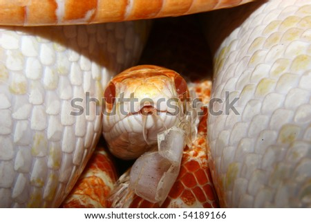 """Portrait of a corn snake (Pantherophis guttata), the color form """"Red albino"""" - stock photo"""