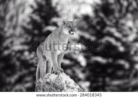 Portrait of a cougar, mountain lion, puma, panther, striking a pose on a fallen tree, Winter scene in the woods - stock photo