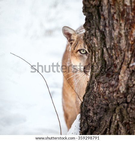 Portrait of a cougar, mountain lion, puma, striking pose, Winter scene in the woods - stock photo