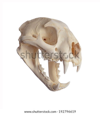 Portrait of a Cougar Skull. Isolated on white background.
