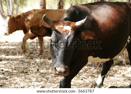 portrait of a cow - stock photo