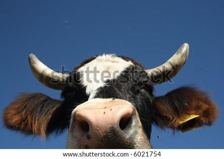 Portrait of a cow - stock photo