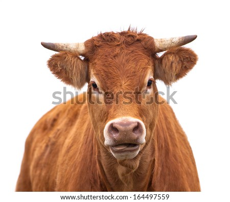 Portrait of a Cow Grown for Organic Meat on a White Background - stock photo