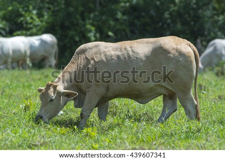 portrait of a cow in Farm , Beef Breed on green grass