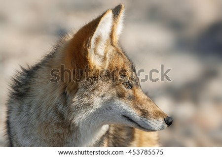 Portrait of a coyote (Canis latrans) in Death Valley National Park, California. Coyotes are native to North and Central America. - stock photo