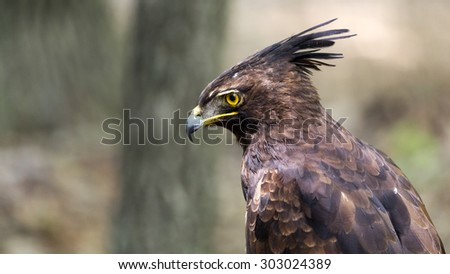 portrait of a crested eagle
