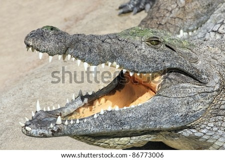 Portrait of a crocodile lying with open mouth