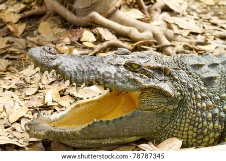 Portrait of a crocodile with open mouth - stock photo