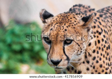 Portrait of a crouching cheetah with intense look - stock photo