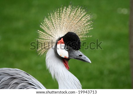 Portrait of a crowned crane bird - stock photo