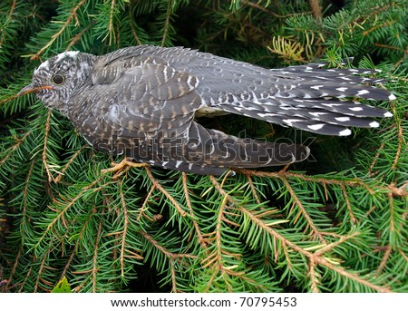 Cuckoo Bird Stock Photos Images Amp Pictures Shutterstock