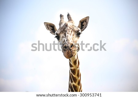 Portrait of a curious giraffe (Giraffa camelopardalis) over blue sky with white clouds - stock photo