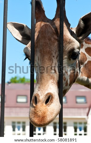 Portrait of a curious giraffe. Giraffe in a zoo.