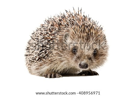 Portrait of a curious hedgehog isolated on white background - stock photo