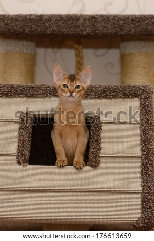 Portrait of a cute abyssinian kitten in the house - stock photo