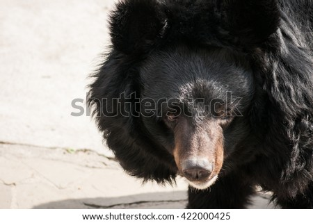 Portrait of a cute and fluffy black asian bear - stock photo