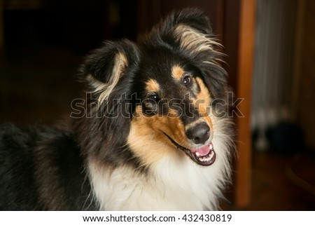 Portrait of a cute and happy black collie dog