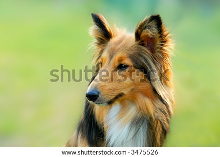 portrait of a cute brown lassie dog with green grass background - stock photo
