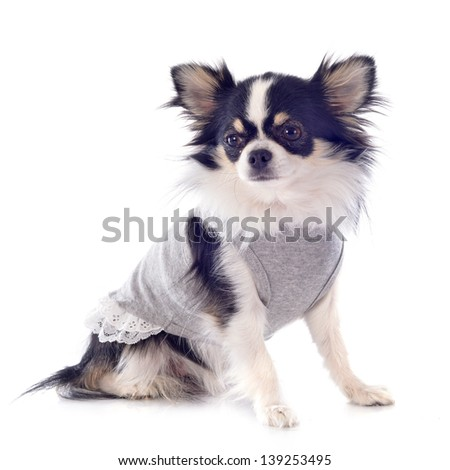portrait of a cute dressed chihuahua in front of white background - stock photo