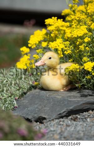 Portrait of a cute ducklings in the garden - stock photo