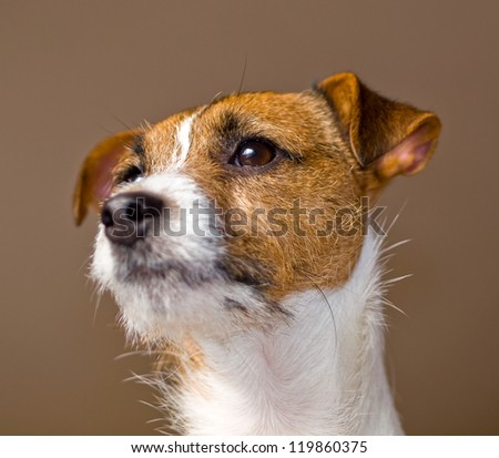 Portrait of a Cute Jack Russell Terrier - stock photo
