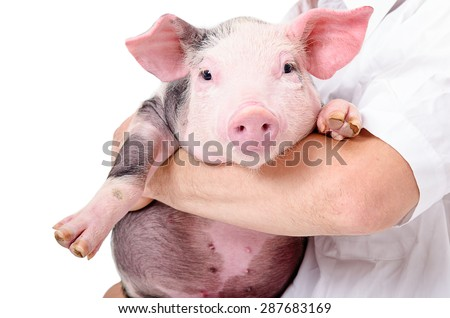 Portrait of a cute little pig on hands at the vet - stock photo
