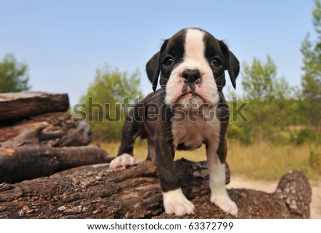 portrait of a cute little puppy purebred boxer, focus on the nose.