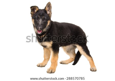 Portrait of a cute puppy German Shepherd standing in full length isolated on white background - stock photo