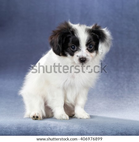 Portrait of a cute puppy Papillon sitting on a blue background - stock photo