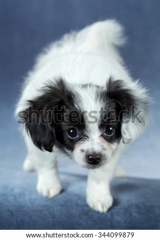 Portrait of a cute puppy Papillon standing on a blue background - stock photo