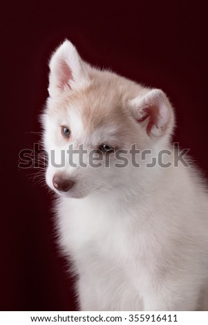 Portrait of a cute puppy Siberian Husky in the Studio. - stock photo