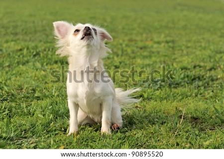 portrait of a cute purebred  barking chihuahua - stock photo