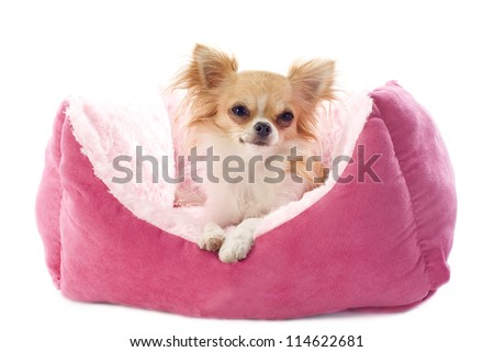 portrait of a cute purebred  chihuahua  and dog bed in front of white background - stock photo