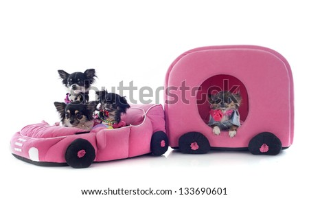 portrait of a cute purebred chihuahua in car and caravan in front of white background - stock photo
