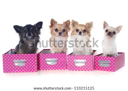 portrait of a cute purebred  chihuahuas in box  in front of white background
