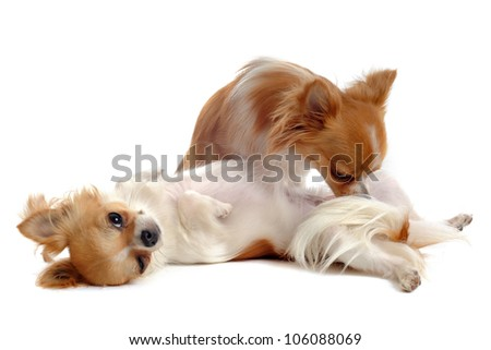 portrait of a cute purebred  chihuahuas in front of white background - stock photo