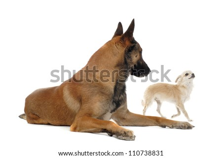 portrait of a cute purebred  puppy chihuahua and malinois in front of white background - stock photo