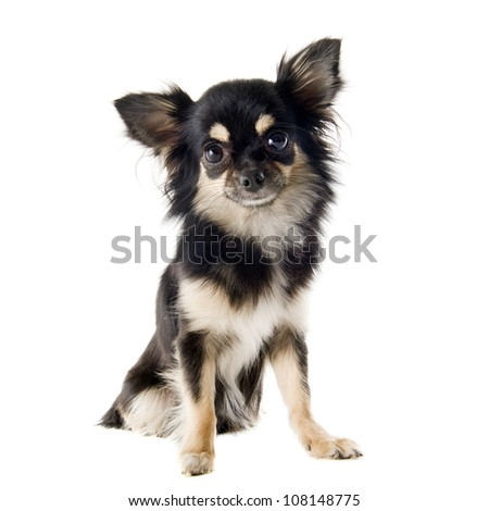 portrait of a cute purebred  puppy chihuahua in front of white background - stock photo