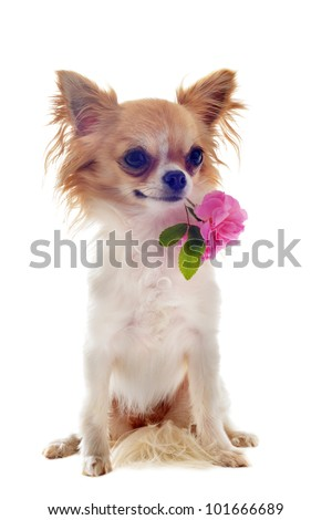 portrait of a cute purebred  puppy chihuahua withe rose in front of white background