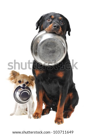 portrait of a cute purebred rottweiler and chihuahua and his food bowl - stock photo