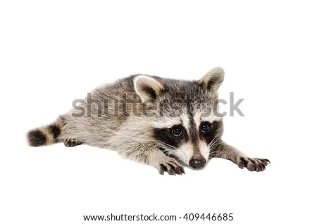 Portrait of a cute raccoon lying isolated on white background