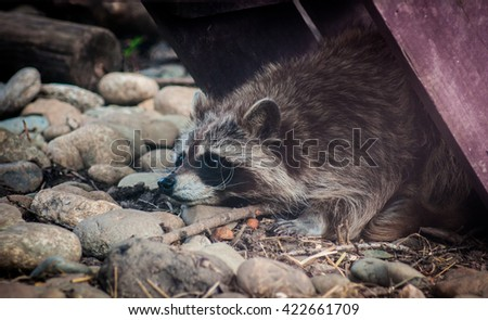 Portrait of a cute raccoon lying on the ground under a cover