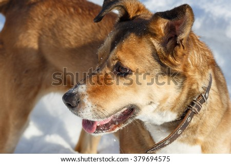 Portrait of a cute red dog close up. - stock photo