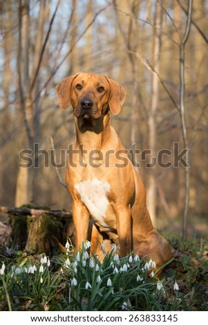 Portrait of a cute Rhodesian Ridgeback in spring forest - stock photo