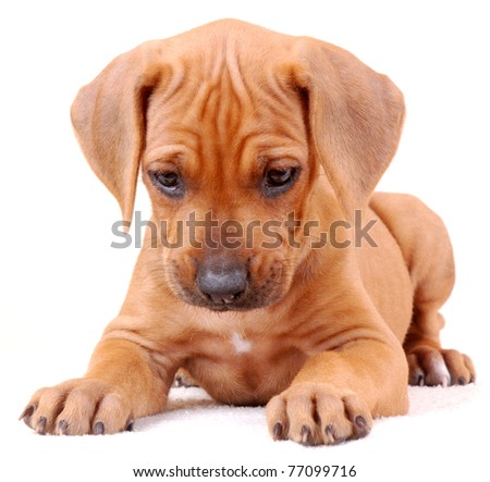 Portrait of a cute six weeks old thoroughbred Rhodesian Ridgeback hound dog puppy lying and looking down. Image isolated on white studio background.