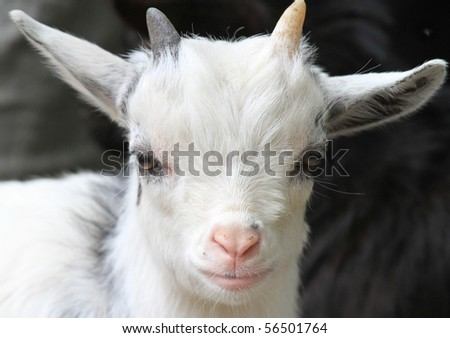 Portrait of a cute white baby goat with a pink nose - stock photo