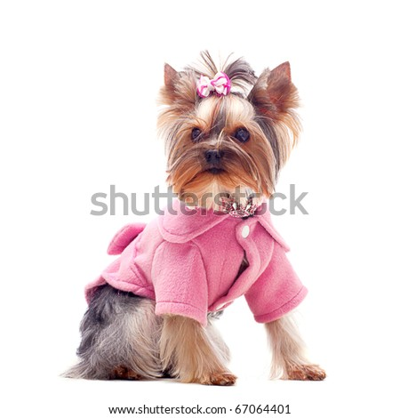 Portrait of a cute yorkshire terrier in pink coat - stock photo