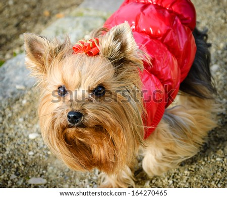 Portrait of a cute yorkshire terrier in red coat and with red golden bow on the head . Outdoor. Shadowed angles. - stock photo